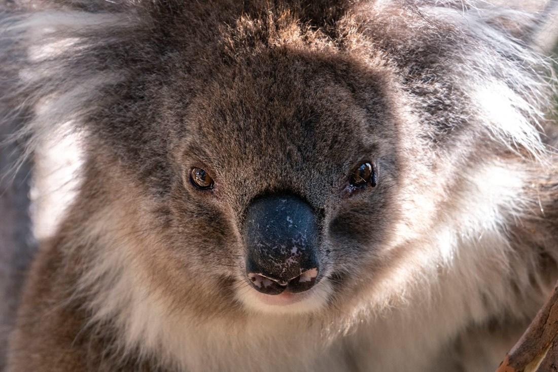 DSC05831_Yanchep-NP_Loch-McNess_Koala_Portrait-