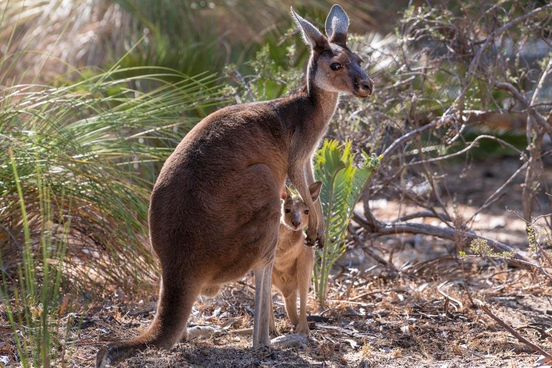 DSC05919-Kaenguru-Mutter-mit-Kind-